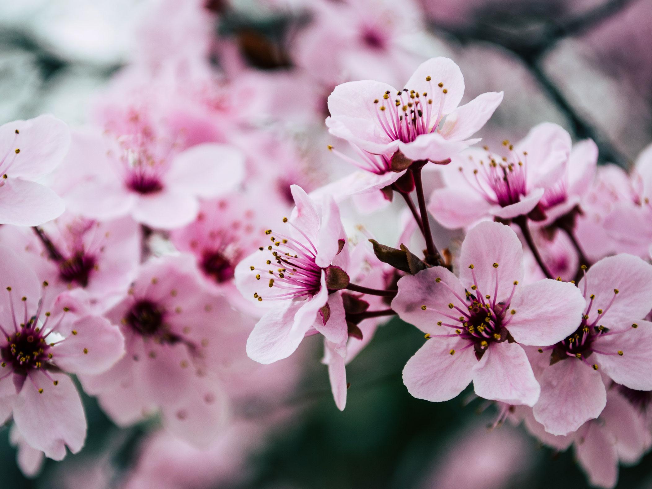 fiori di ciliegio yoga gentile torino
